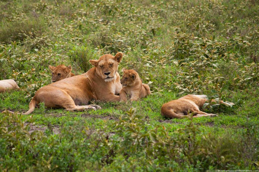 Lion family with cups, Serengeti